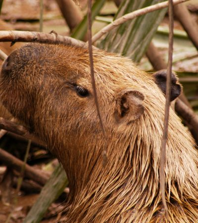 destinations-amazon-rainforest-capibara