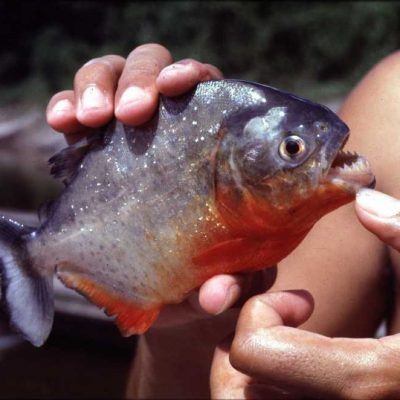 The second is a closeup of a piranha fish in the hands of fisherman Miguel Socorro. HOUCHRON CAPTION (07/18/1998): The flesh of the sharp-toothed piranha is considered a powerful aphrodisiac in parts of Peru and a medical cure for problems that include fertility, verility a powerful aphrodisiac in parts of Peru and a medical cure for problems that include fertility, verility and baldness.